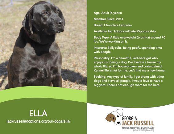 Today's l'il, er, big leprechaun rescue is Ella!  #chocolate #labrador #adoptable #rescue