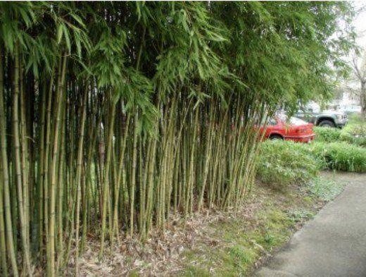 Bamboo—Phyllostachys aurea