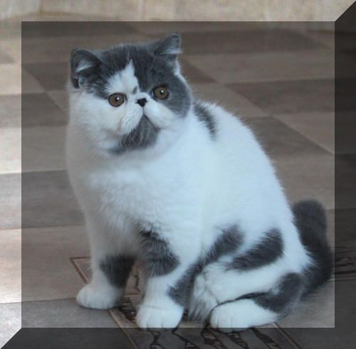 Exotic Shorthair Kittens,Exotic Shorthair Cats, Exotic Dit-Dots