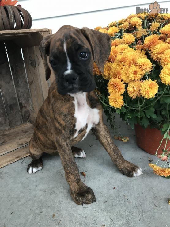 German Shepherd Coonhound Mix Coonhound Big Dog Breeds Puppy Time