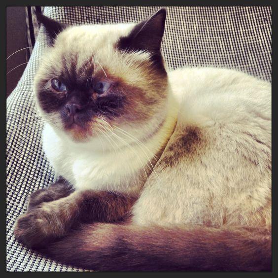 My great cat, Figaro - British Short Hair, 2 years old