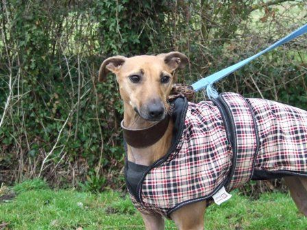 Java is a 3 year old female Whippet X.    She is good with other dogs but would chase anything small and fluffy.    She has a very high chase drive and has a high energy level.    Java would be better suited as an only pet and may need to be muzzled when off lead.