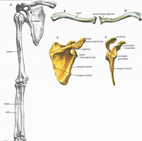 Ossos Do Braco Antebraco E Ombro Anatomia Com Imagens