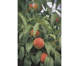 The Best Fruit Trees to Grow in Central Texas