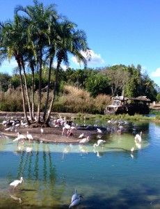 Flamingoes at Kilamanjaro Safari