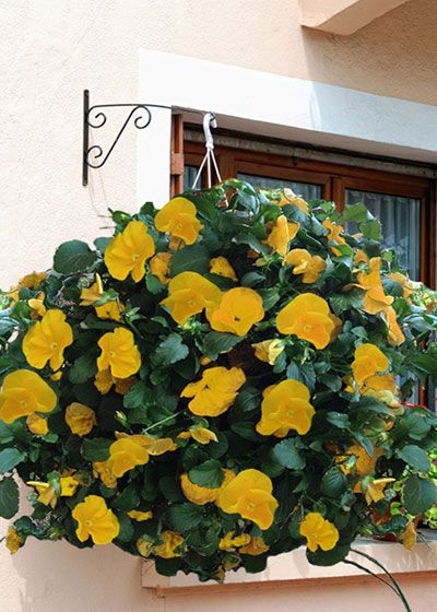 Showcase a unique display of color in your yard by combining two hanging baskets to create a spherical planter! Fill your planter with beautiful pansies to usher in the fall and reuse a few months down the road with colorful annuals to celebrate spring.: