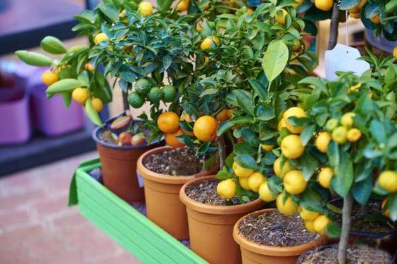 Plantas frutales para macetas: Limonero