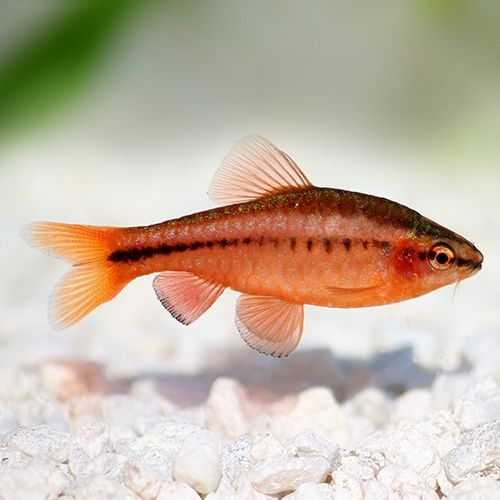 Cherry Barb Fresh Water Fish Tank Freshwater Fish Beautiful Fish