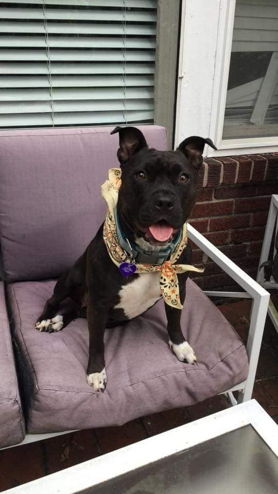 Adopt Little Debbie On Pitbull Terrier Terrier Mix Dogs Dogs