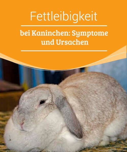 Fettleibigkeit Bei Kaninchen Symptome Und Ursachen My Animals In 2020 Kaninchen Tiere Fettleibigkeit