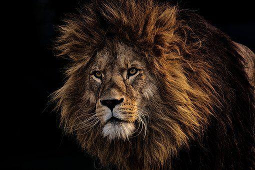 Lion Predator Dangerous Mane Big Cat Lion Pictures Lion
