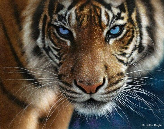 Amazing face of a blue-eyed tiger by Collin Bogle