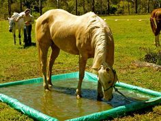 Our Palamino Quarterhorse finding her confidence to play in the water obsticle. It took a while but we got there. horse obsticle, horse toy, horse playground, footbath, horse pool