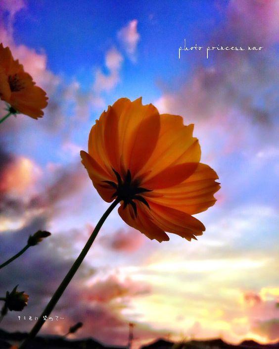 Flower of a pretty cosmos
