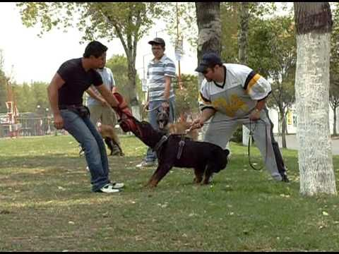 Entrenando perro protector (Attack Guard Dog Training) - http://www.7tv.net/entrenando-perro-protector-attack-guard-dog-training/