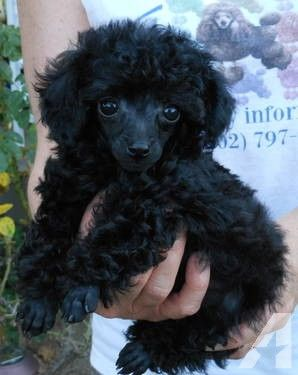 Akc Solid Black Tiny Toy Poodle Girl Tiny Toy Poodle Teacup