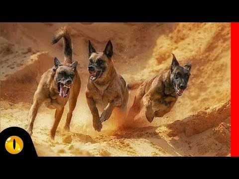 Extreme Belgian Malinois Videos Youtube Belgian Malinois Malinois Dog Gifs