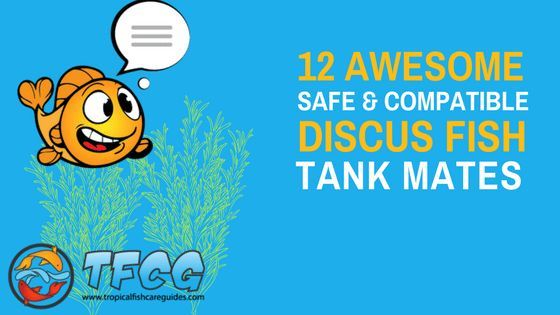 Discus Tank Mates 12 Best Fish Compatible With Discus 2020 List Discus Tank Fish Tank For Kids Discus Fish