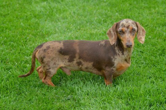 Discover The Daschund Dogs Grooming Daschundlovers
