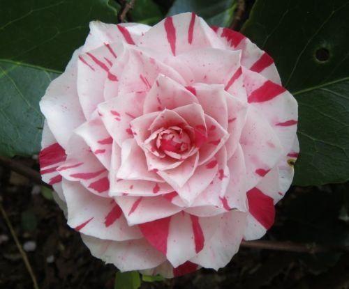 For The Winter Garden Camellia Japonica Japanese Camellia Tea Flower Rose Of Winter Mix 10 Seeds Evergreen Bloom Later Winte Flower Tea Flowers Winter Flowers