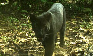 A melanistic leopard caught on camera trap in peninsular Malaysia where such…