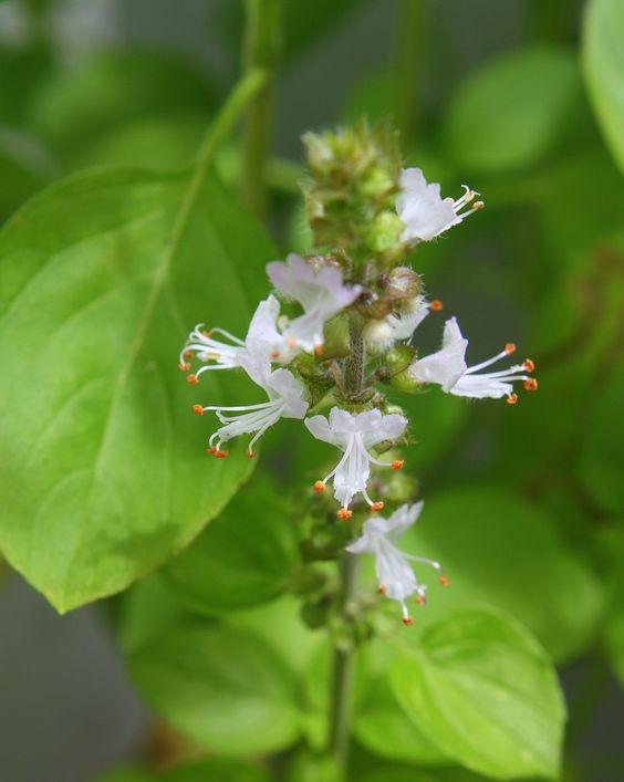 Flor do Manjericão