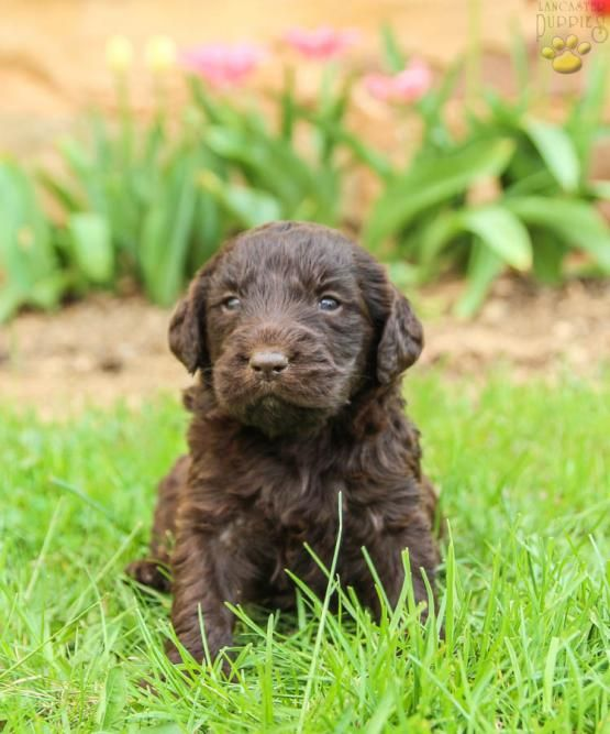 Labradoodle Puppies For Sale In Pa : labradoodle, puppies, Jewels, (f1b), Labradoodle, Puppy, Mifflintown,, Lancaster, Puppies, Sale,, Puppy,