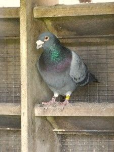 most expensive pigeon, Blue Prince, a highly pedigreed racing pigeon.
