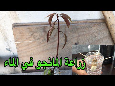 طريقة زراعة المانجو في الماء Grow Mango Seed In Water Youtube Mango Seeds Growing