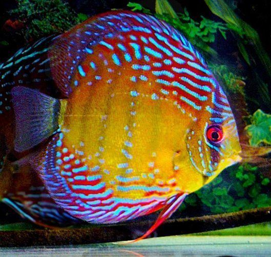 The Thailand Mixed Discus Fish Are Native To The Amazon River Basin Asia Is One Of The Largest P In 2020 Freshwater Aquarium Fish Discus Fish Tropical Freshwater Fish