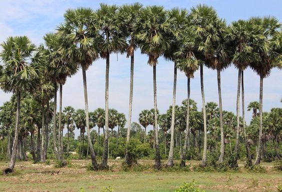 Đối với người Khmer, thốt nốt không phải một loài thực vật thuần túy