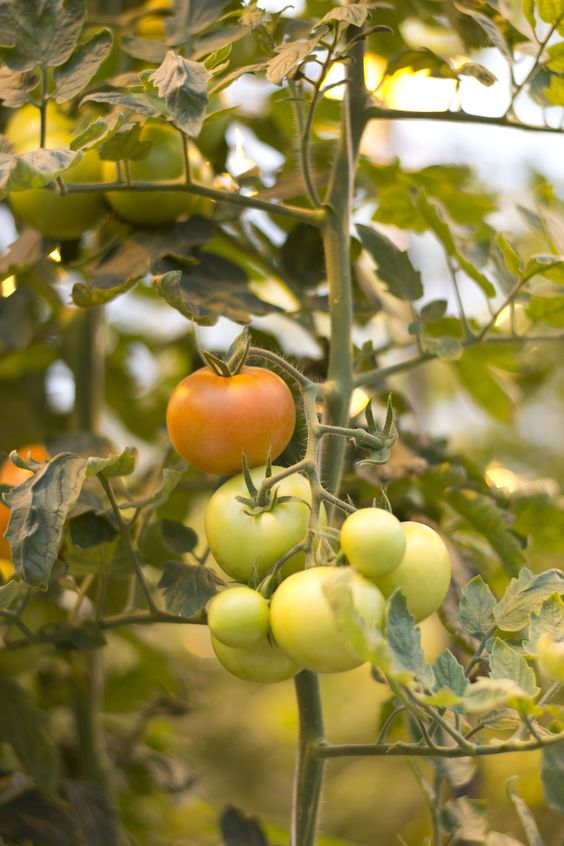 tomatoes growing in a geothermal greenhouse