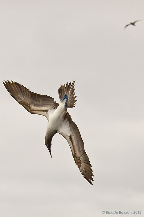 Blue-footed Booby diving for fish