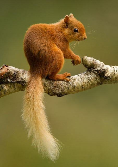 nature-madness:  Red Squirrel In The Scottish Highlands   Mike Dowsett
