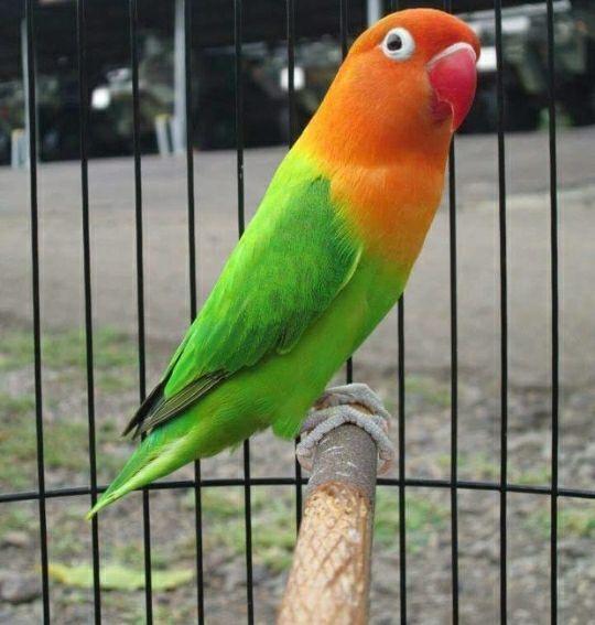 A Faithful Bird That Is A Lovebird Bird Love Birds Pet Bird Breeds Bird