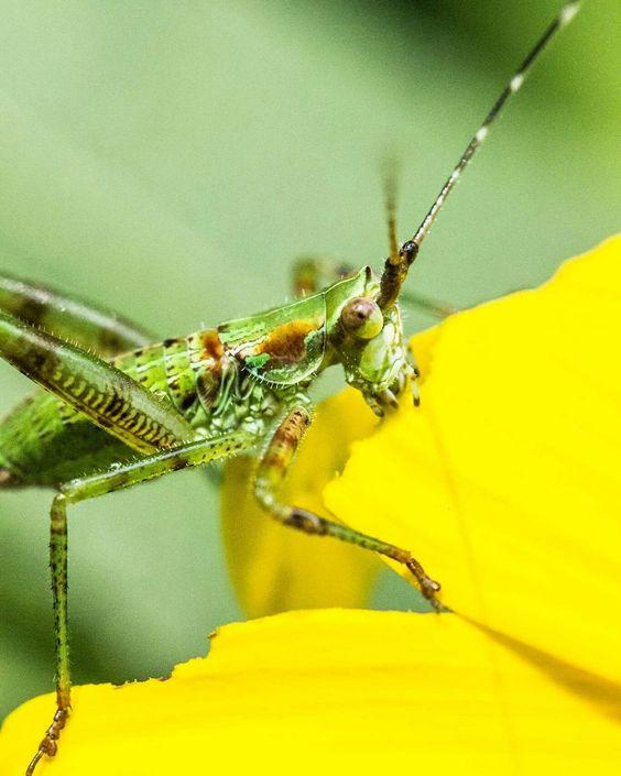 Catydid nymph