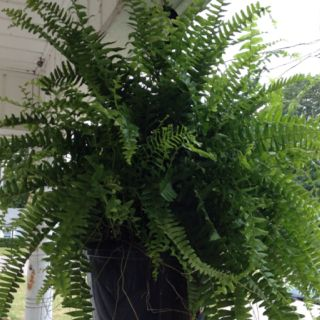My other hanging plant from hubby for Mother's Day 2012.