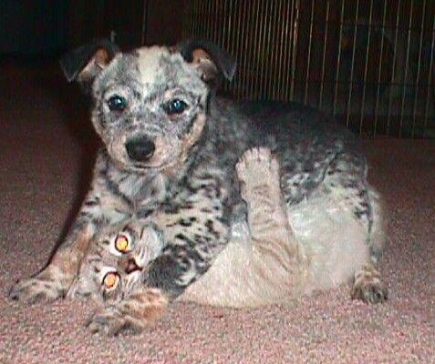 Puppy vs. Tiger