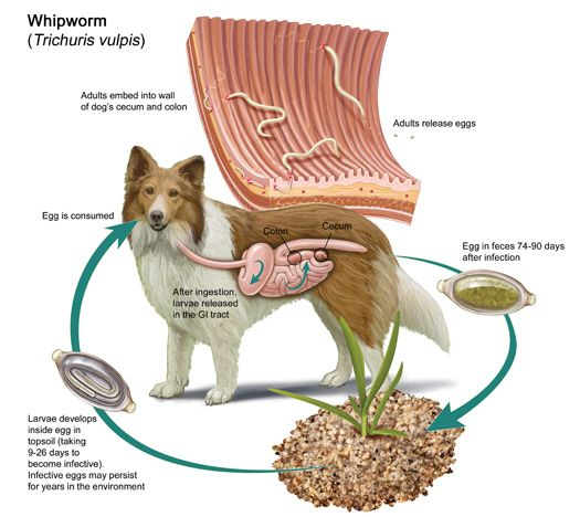 How Often Should I Treat My Dog For Roundworms