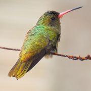 Fotos da Ordem Apodiformes | Wiki Aves - A Enciclopédia das Aves do Brasil