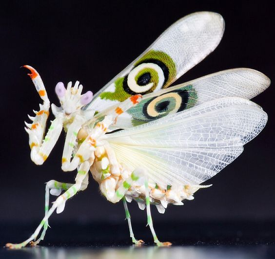 """Orchid Mantis ~ Miks' Pics """"Arachnids and Insects l"""" board @ http://www.pinterest.com/msmgish/arachnids-and-insects-l/"""