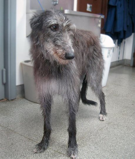 Photo: We had some rarer breeds in last week. This is T.B. the Scottish Deerhound.