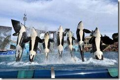 SeaWorld San Diego - Killer Whales
