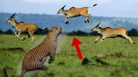 Leopard vs Gazelle - Leopard Catches Gazelle In Air - Leopard Attack 2016
