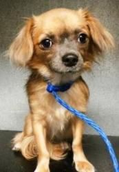 Sybil is an adoptable Pomeranian Dog in Covington, WA. Hello I am Sybil I am a Female Pom/Chihuahua/Mix. I am approx 2 years old & I weigh 6.1lbs I am House Trained on a schedule I am also Crate Train...