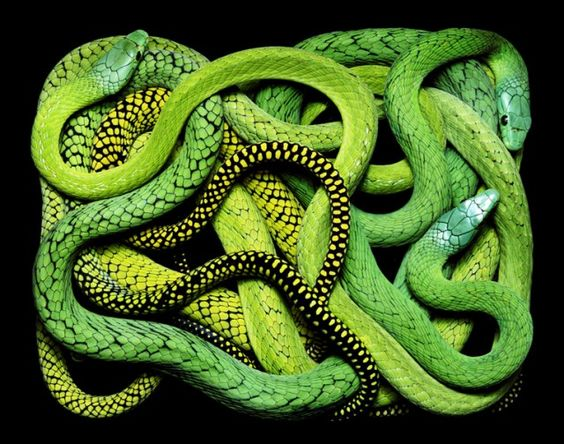 Guido Mocafico's Magnificent Rectangular Serpents - Photographer Guido Mocafico has taken a decidedly different approach with his Serpens series, choosing instead to place the snakes into rectangular boxes, snapping each photo from above at a precisely balanced moment, turning chaotic figures into something distinctly geometric. | #Photography #Snakes #Serpents |