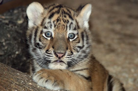 A rare tiger cub born at Banham Zoo in the United Kingdom. [From: Baby Planet]