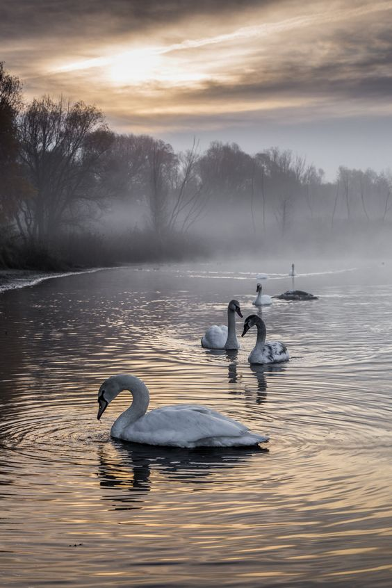 dennybitte:  misty morning in november 2014James said, swans are birds!Listen to him, because he knows what he is talking. <img src=