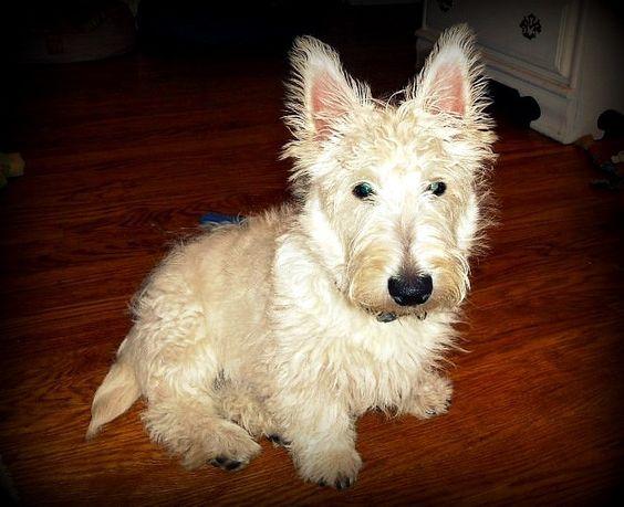 "My rescue Scotty baby boy, Brody ""BoBo""  @ 6 months, before his 1st big-boy haircut. <3 xo"