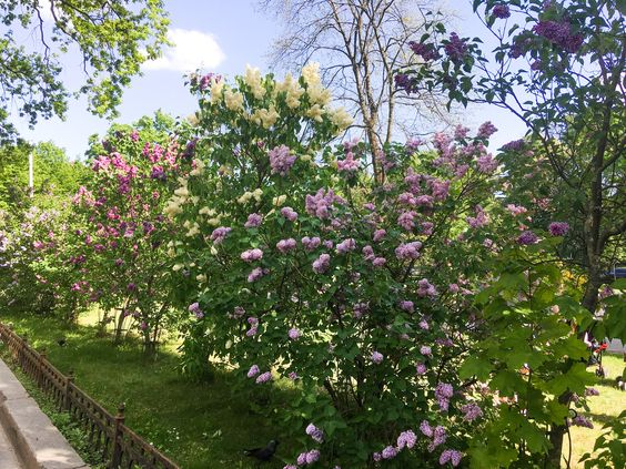 Цветущий город Калининград